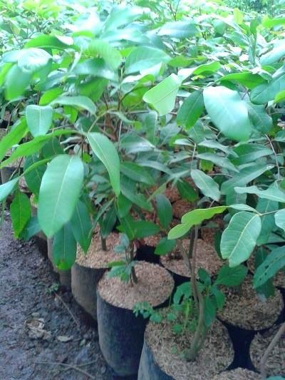 harga Promo tanaman kelengkeng pimpongdiamonitohpuangray Tokopedia.com
