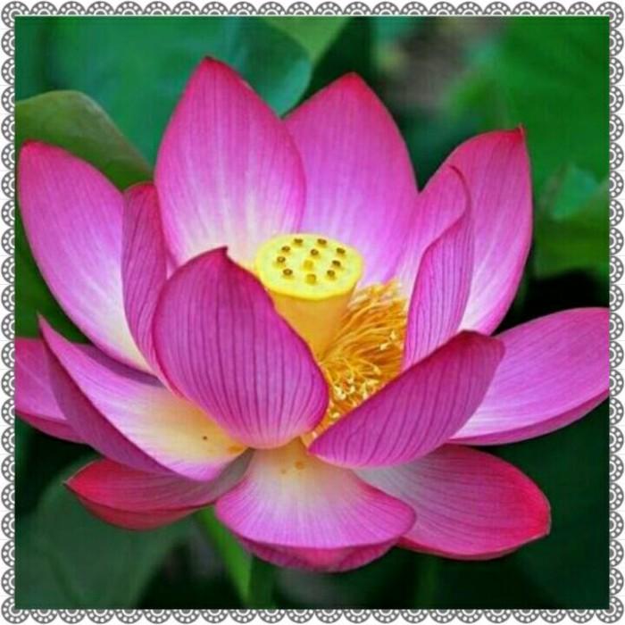 Jual Bunga Lotus Teratai Kota Bandung Mister Tokkomi Tokopedia