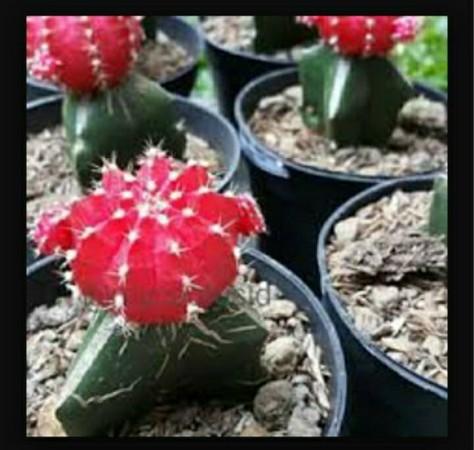 harga Kaktus merah ruby Tokopedia.com
