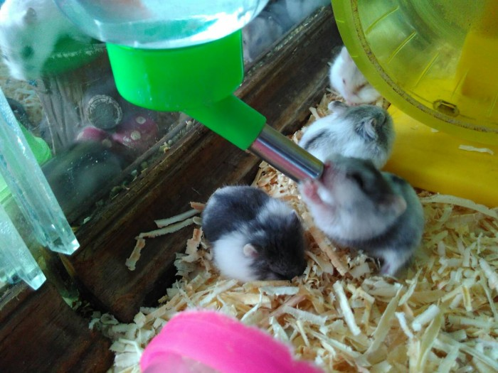 RumahHamsterBekasi- Hamster Campbell, Syrian, Winter White, Roborovsky