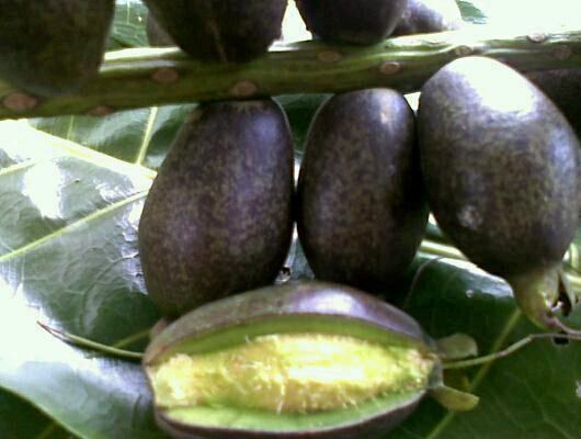 bibit kacang barithonia edulis import