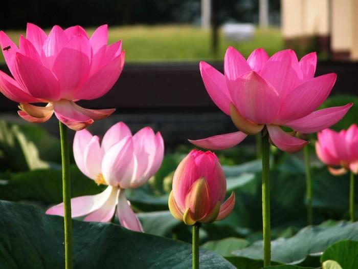 5pcs Lotus Seed Benih Bunga Teratai Flower Biji Tanaman Airaquascape Source · Bibit Benih Seeds Pink