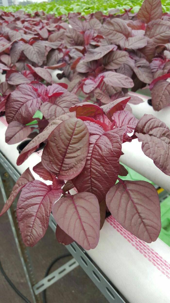 Jual PROMO Bayam Merah Sayur Hidroponik Jakarta Barat Kebun AHA
