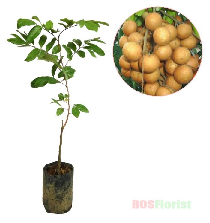 harga Tanaman buah kelengkeng kristal Tokopedia.com