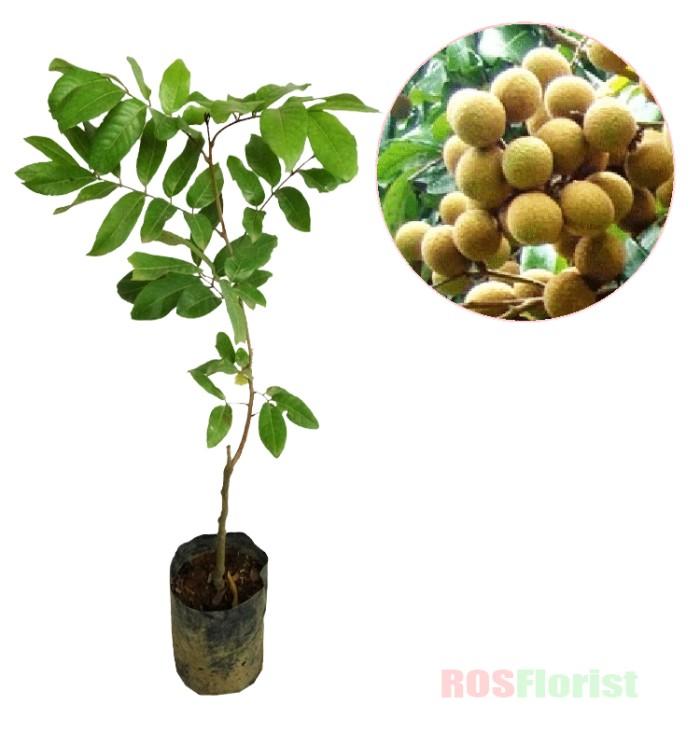 harga Tanaman buah kelengkeng aroma durian Tokopedia.com
