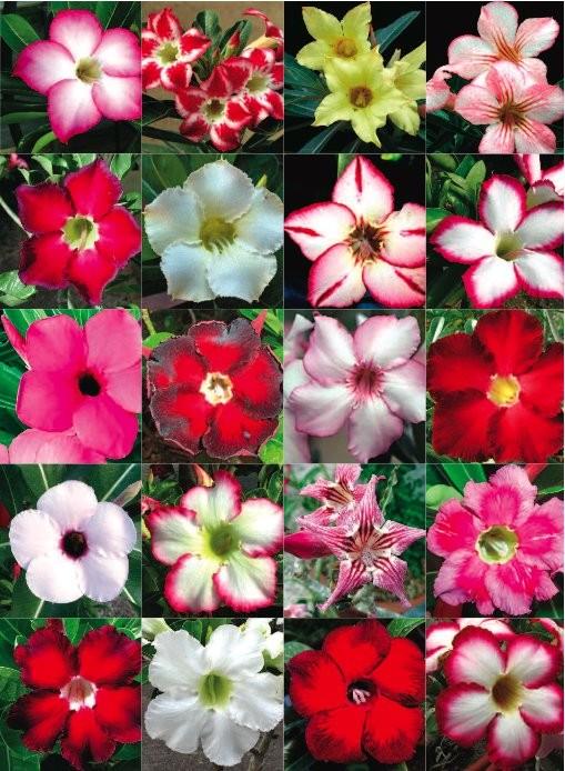harga Biji benih bunga bunga adenium obesicum mix Tokopedia.com