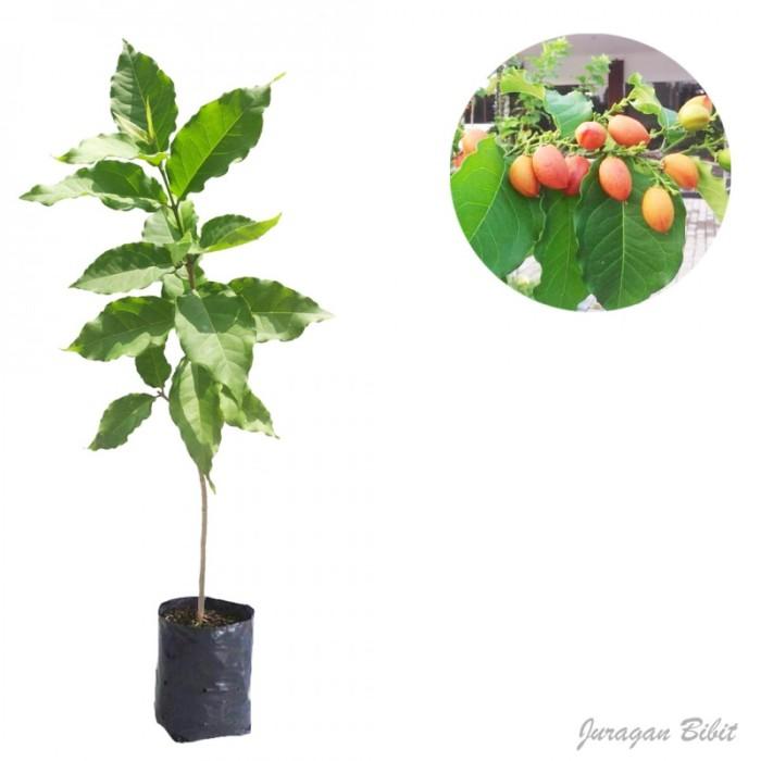 harga Bibit kacang amazon 80 cm Tokopedia.com