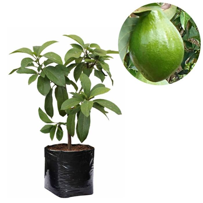 harga Bibit buah alpukat miki - tinggi 60cm Tokopedia.com