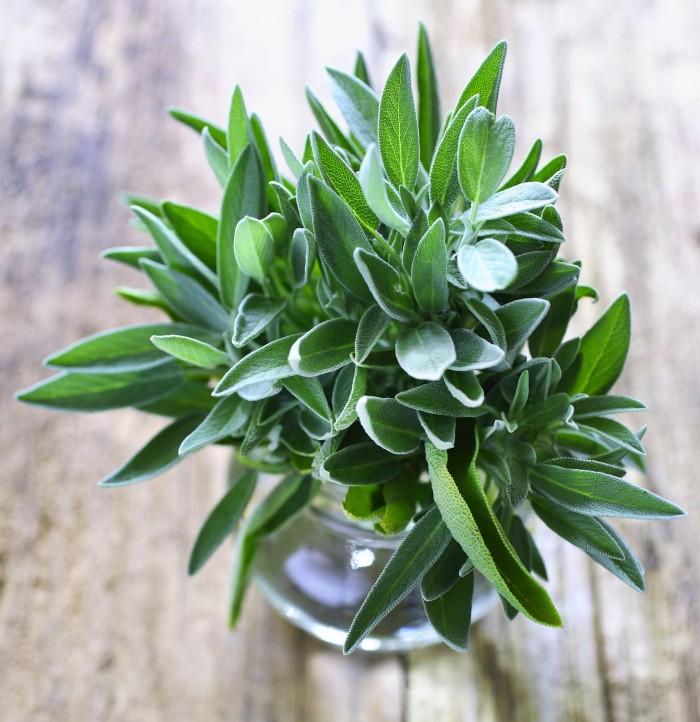 Benih / Bibit / Biji - Sage Herbs (Salvia sp.) - IMPORT