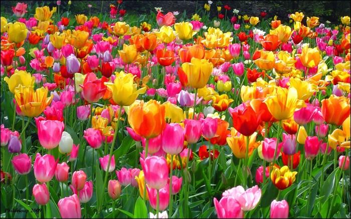 Jual Bunga Tulip Kota Surabaya Dila Top Tokopedia