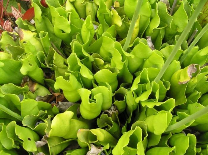 Foto Produk Biji Benih Bibit Sarracenia purpurea f.heterophylla (all green) dari Biji Benih