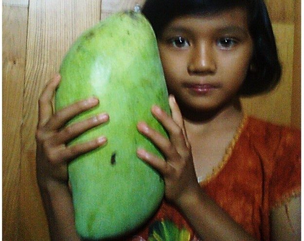Bibit Pohon Mangga Mahatir Malaysia