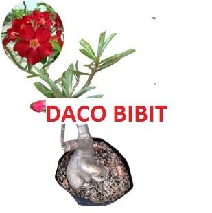 harga Tanaman jadi bunga adenium beauty red Tokopedia.com