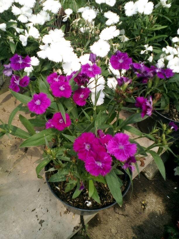 Jual Tanaman Bunga Anyelir Purple Kota Batu Divainayah Tokopedia