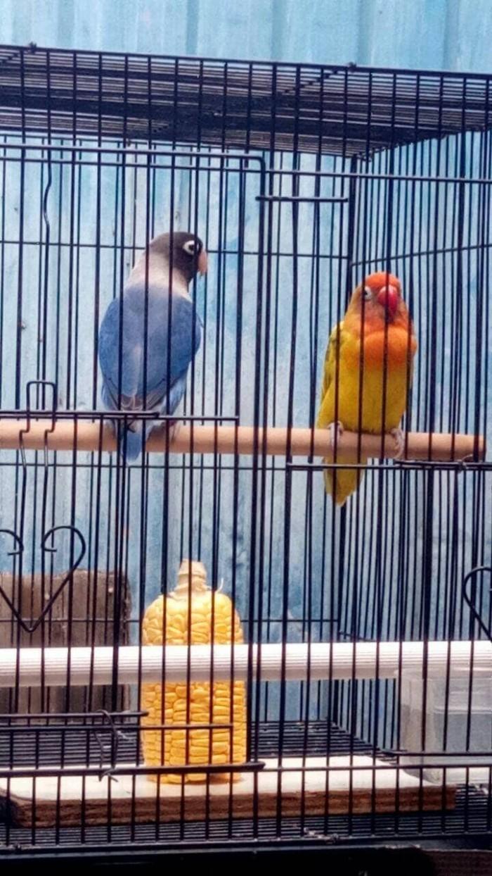 Jual Dijual Lovebird Indukan Gs Import Orixmangsi Perso Import Leher Puti Kota Surabaya Junkies Vapes