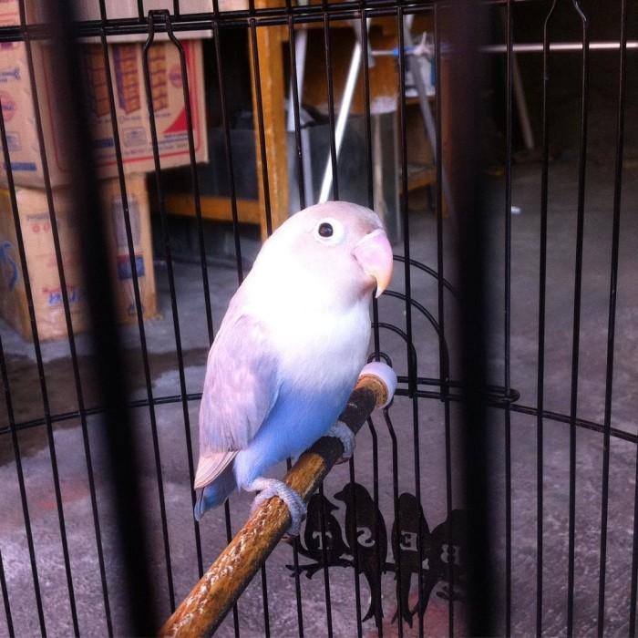 harga Burung lovebird lb pasvio pastel violet paud bahan anak Tokopedia.com