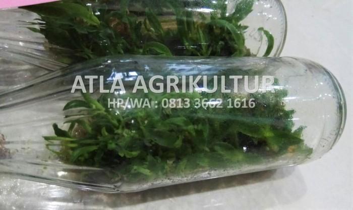 Bibit Anggrek Botol Bulan/Phalaenopsis, Dendrobium, Cattleya, Vanda