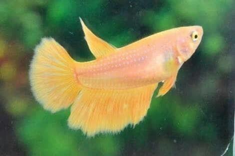 harga Ikan cupang yellow halfmoon betina serit bagan plakat kuning hmpk Tokopedia.com