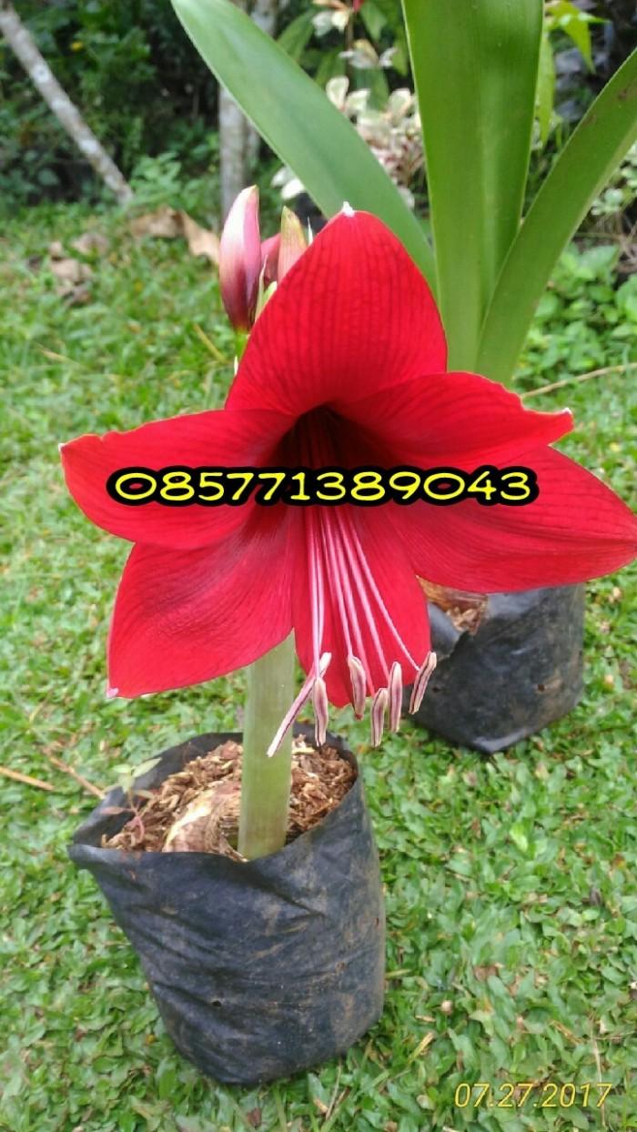 Jual Amarilis Bunga Amarilis Merah Kab Bogor Grass Taman Tokopedia