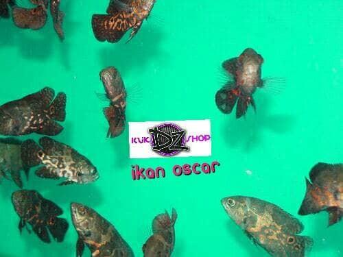 harga Ikan oscar tiger dan golden Tokopedia.com