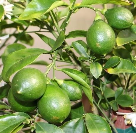 Jual Tanaman Jeruk Lemon Lokal Cangkok Kota Batu Bibit Tabulampot Tokopedia