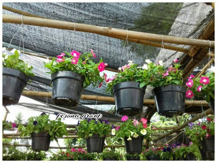 Jual Tanaman Hias Bunga Petunia Tanaman Bunga Petunia Tanaman Gantung Kab Bogor Bogor Home Floris Tokopedia