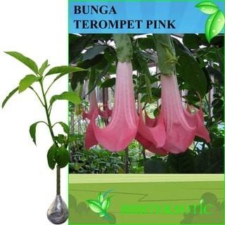 Jual Tanaman Bunga Terompet Pink Kota Batu Bibit Tanaman Eksotic Tokopedia