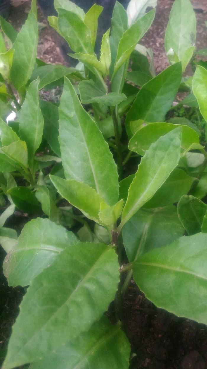 Jual Sambung Nyawa Bibit Sambung Nyawa Herbal Tanaman Herbal