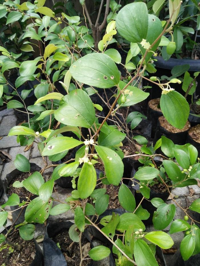 harga Tanaman buah putsa / apel india Tokopedia.com