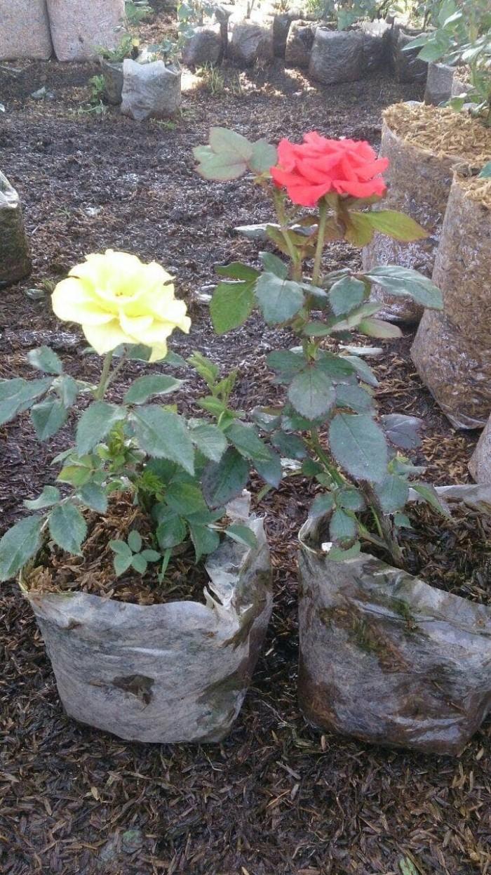 Jual Jual Tanaman Bunga Mawar Kab Bogor Aditya Nursery