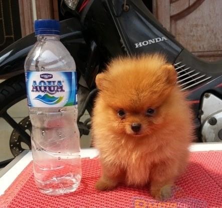 Jual Anjing Mini Pom Sanga Lucu Sangat R Kab Banyuwangi Asdakala Tokopedia