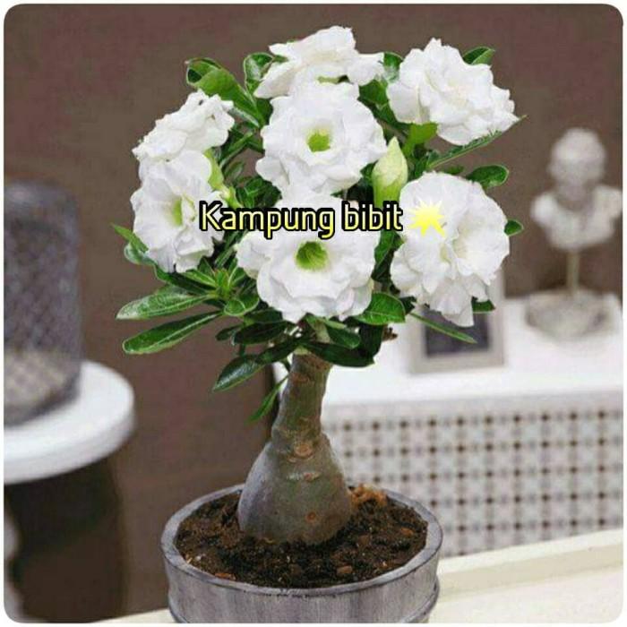 harga Bibit bunga kamboja triple putih/adenium white Tokopedia.com