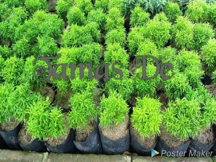 Jual Tanaman Hias Brokoli Hijau Kota Bekasi Toko Tamas De Tokopedia