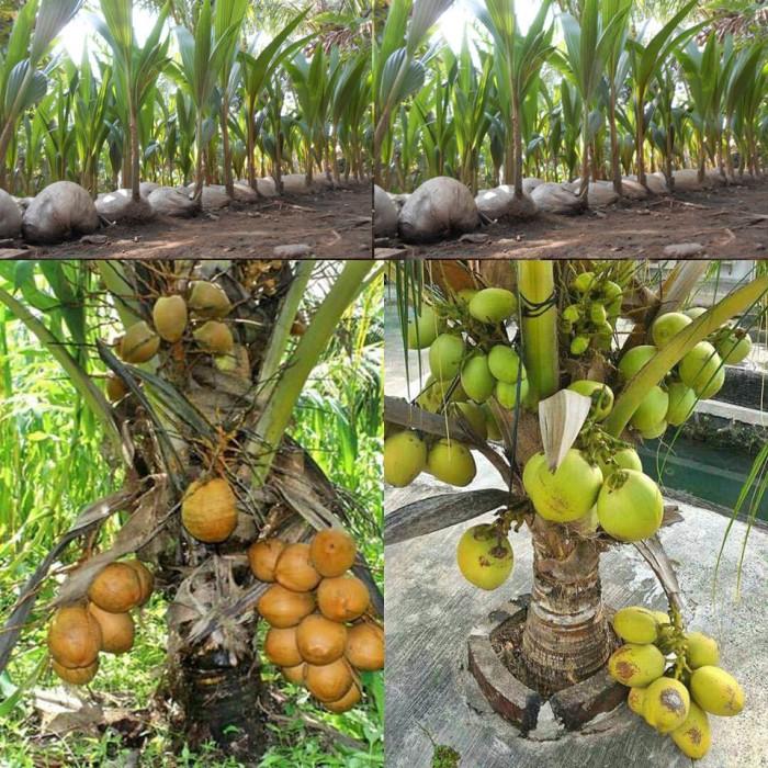Bibit pohon kelapa kopyor