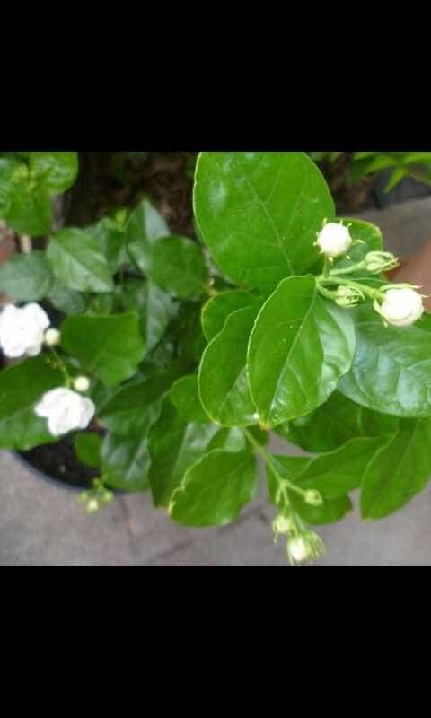 Foto Produk pohon melati kampung / melati wangi dari taman bugenvil