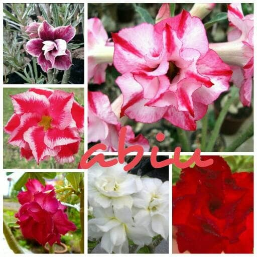 harga Bibit bunga kamboja atau adenium paket 6 batang Tokopedia.com