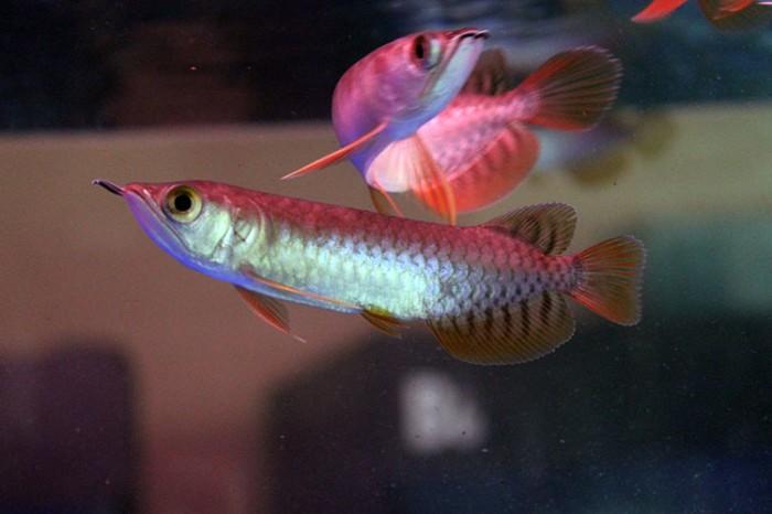 Harga Ikan Arwana Super Red Termahal