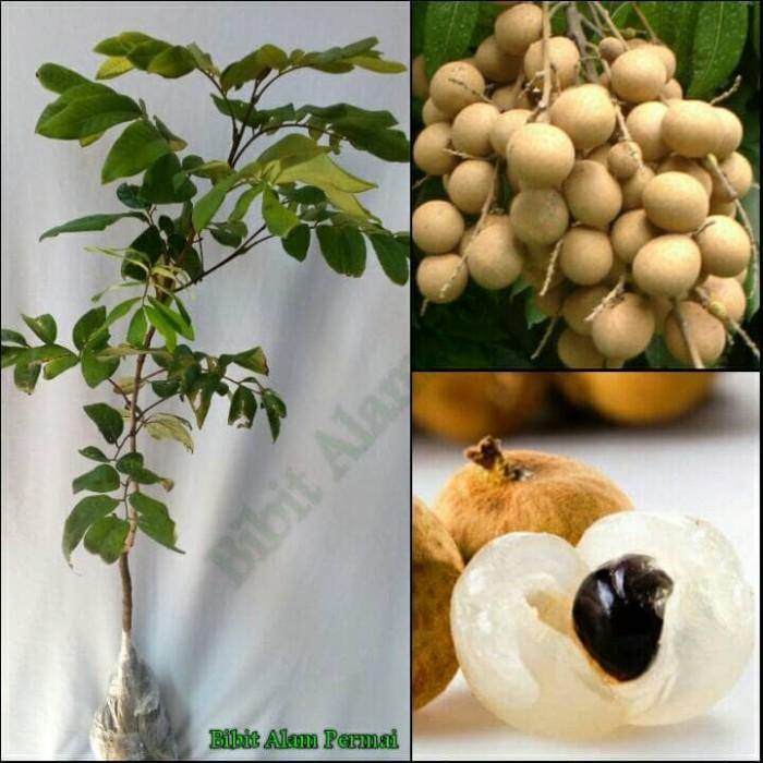 harga Bibit tanaman buah kelengkeng pingpong Tokopedia.com