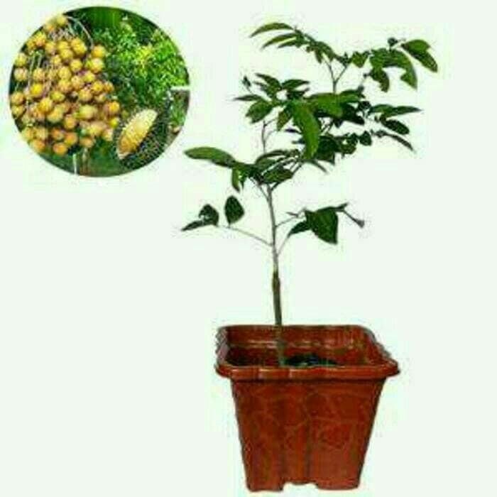 harga Bibit buah kelengkeng aroma durian Tokopedia.com