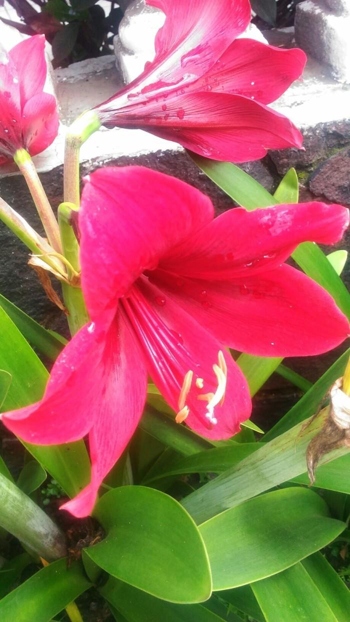 Jual Amarilis Merah Bunga Bakung Bakung Merah Bunga Taman Kota Cimahi TOKO HASYA