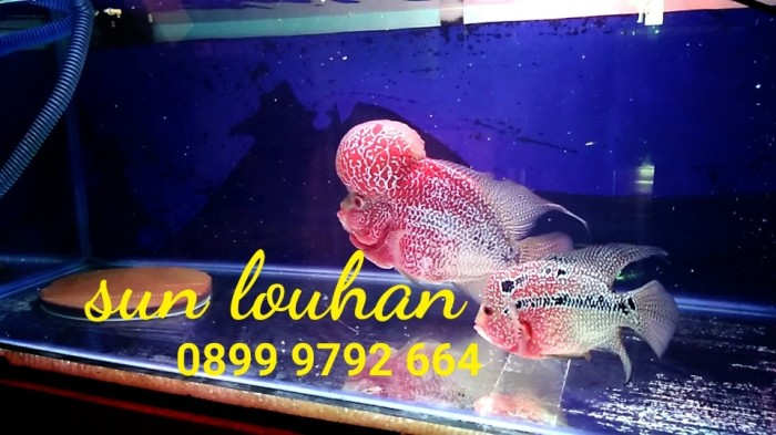 harga Burayak Ikan Louhan Gading Series Uk 3cm Up (indukan Ori Import) Tokopedia.com
