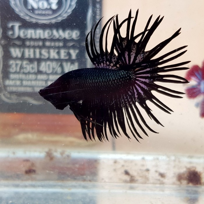 Jual Ikan Cupang Super Black Crowntail Jakarta Selatan Ikan Cupang Big Ear Tokopedia
