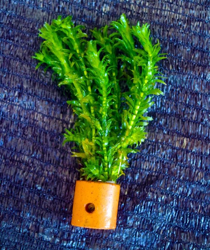 Foto Produk Hydrilla Verticalata Tanaman Air Akuaskap dari BlueGreenFarm
