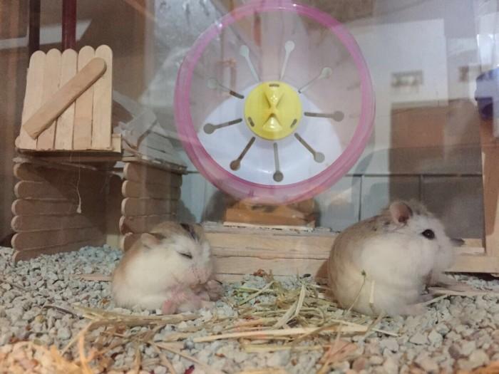 harga Pesenan indukan hamster robo sepasang dan makanan Tokopedia.com