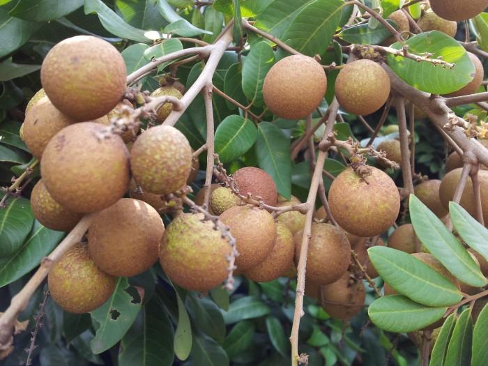 harga Tanaman buah kelengkeng biji lada dewasa siap buah Tokopedia.com