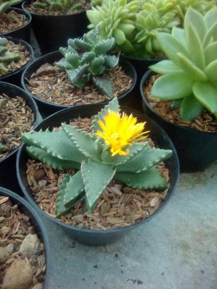 Jual Kaktus Ownroot Kaktus Berbunga Kaktus Unik Kota Bekasi Rumah Kaktus Tokopedia