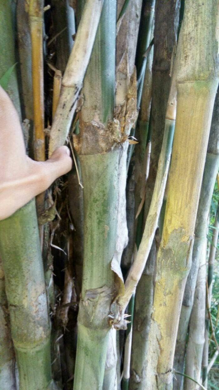 harga Bambu petuk asli masih di pohon Tokopedia.com
