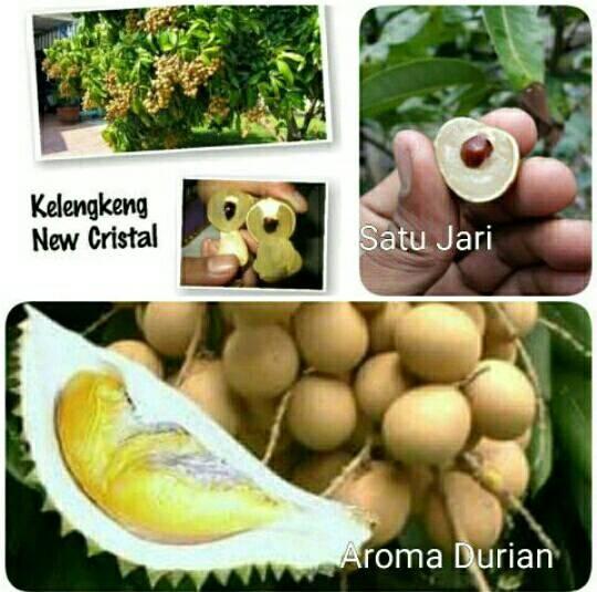harga Paket 3 bibit kelengkeng unggul new kristal - satu jari - aroma durian Tokopedia.com