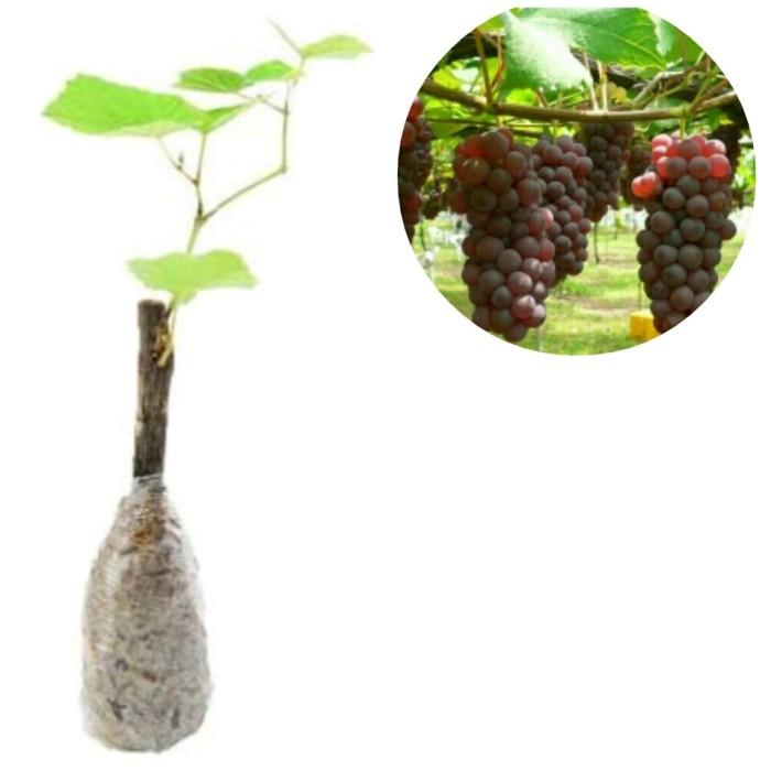 harga Bibit anggur probolinggo super bs85 Tokopedia.com
