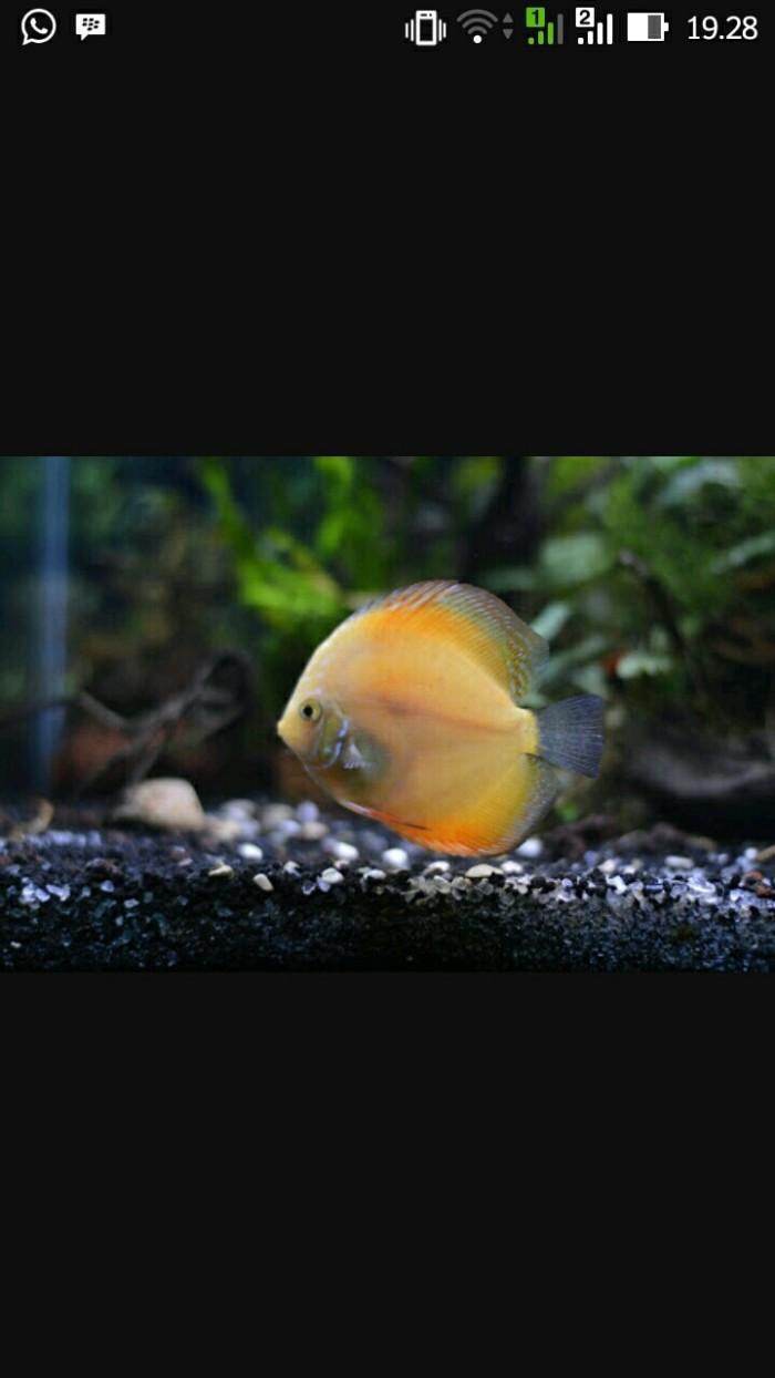 harga Ikan hias discus Tokopedia.com
